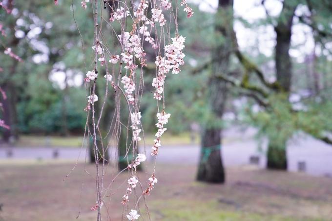 桜_2021_06 出水の桜 No6