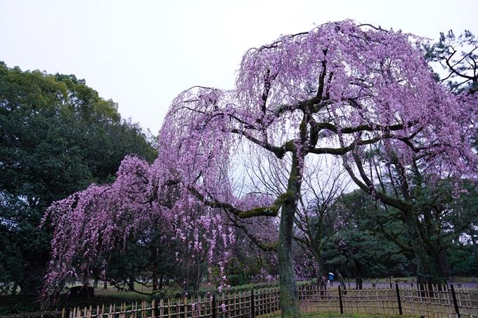 桜_2021_06 出水の桜 No7
