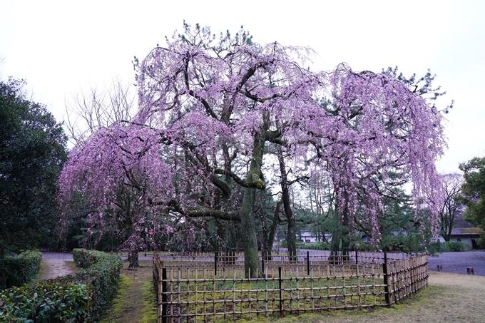 桜_2021_06 出水の桜 No8