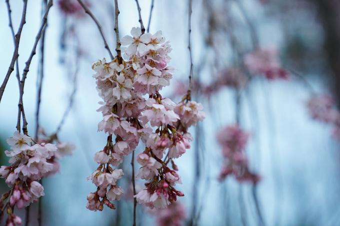 桜_2021_06 出水の桜 No9