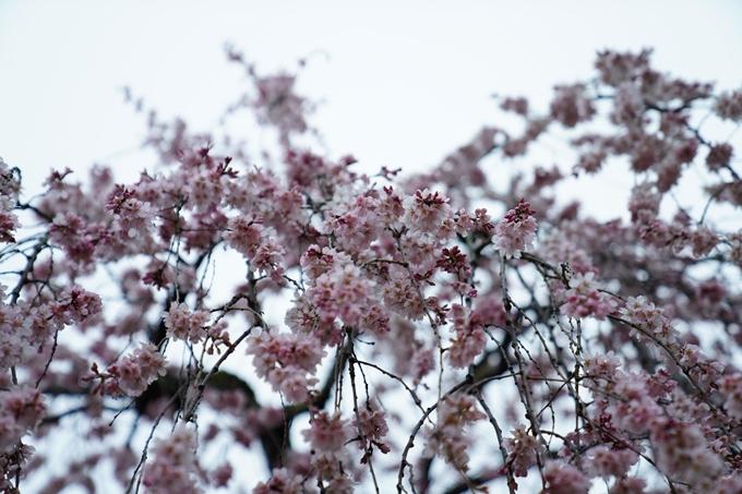 桜_2021_06 出水の桜 No10