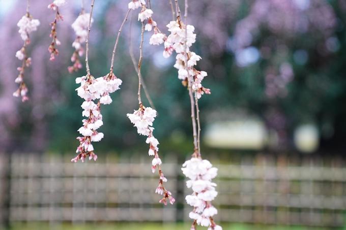 桜_2021_06 出水の桜 No11