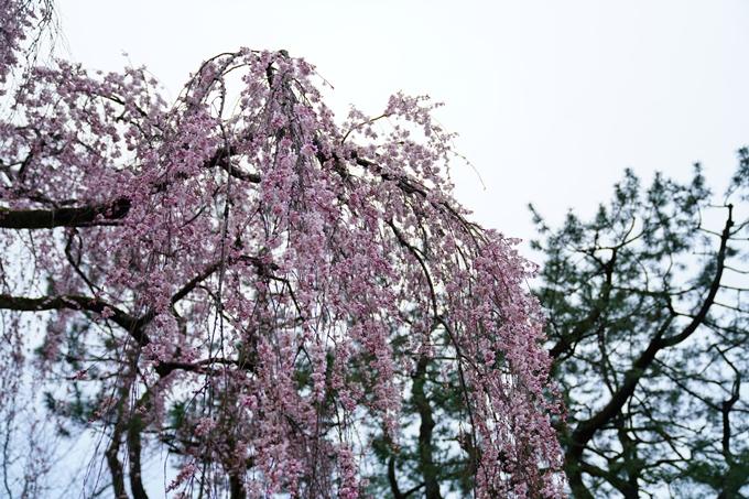 桜_2021_06 出水の桜 No12