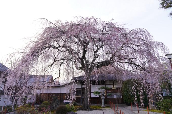 桜_2021_09 本満寺 No3