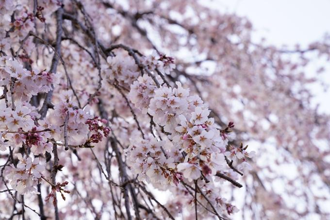 桜_2021_11 満願寺 No6