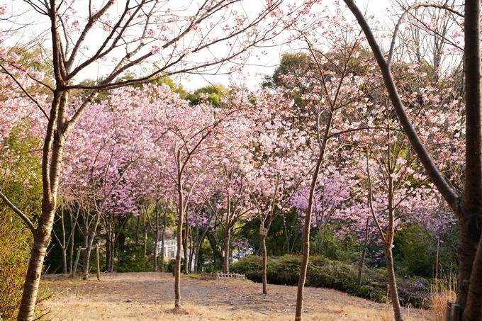桜_2021_14 熊野若王子神社_桜苑 No3