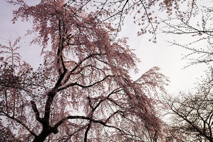 桜_2021_12 平野神社 No5