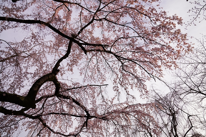 桜_2021_12 平野神社 No6