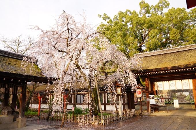 桜_2021_12 平野神社 No7