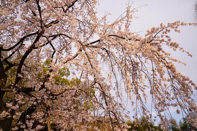 桜_2021_12 平野神社 No8