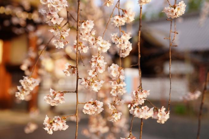 桜_2021_12 平野神社 No9