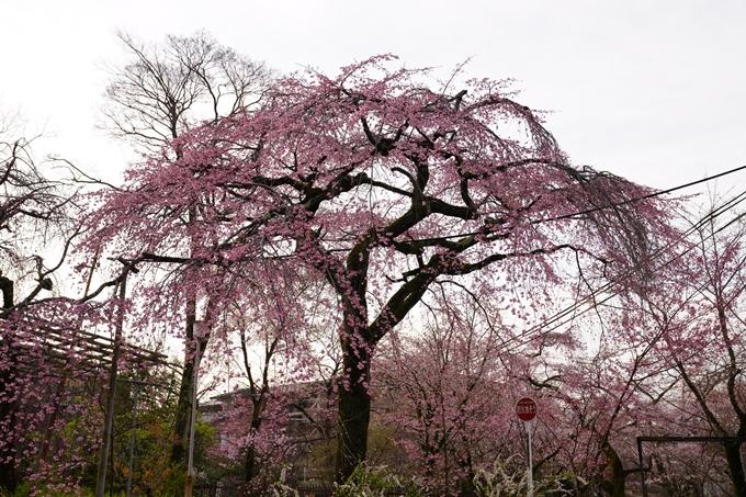 桜_2021_12 平野神社 No12