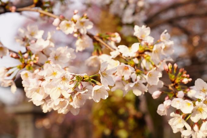 桜_2021_12 平野神社 No14
