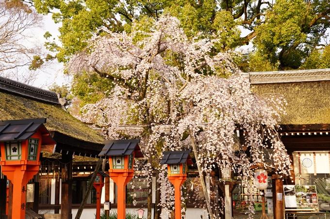 桜_2021_12 平野神社 No15