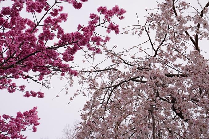 桜_2021_12 平野神社 No17