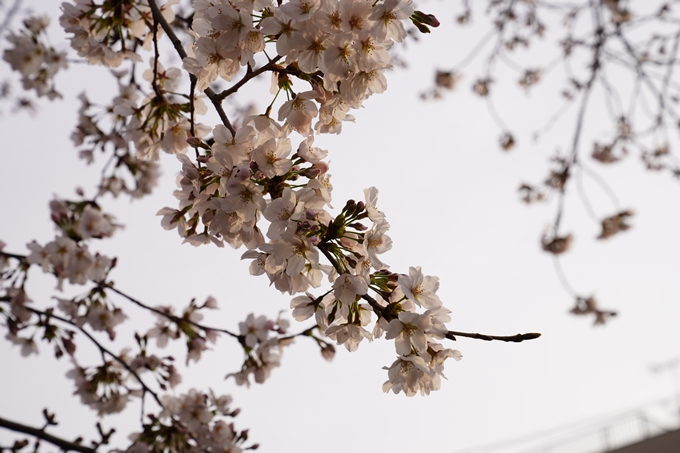 桜_2021_12 平野神社 No18