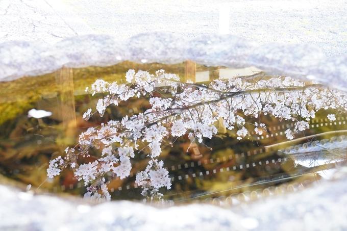 桜_2021_16 立本寺 No18