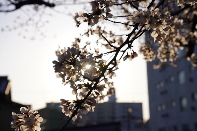 桜_2021_16 立本寺 No20