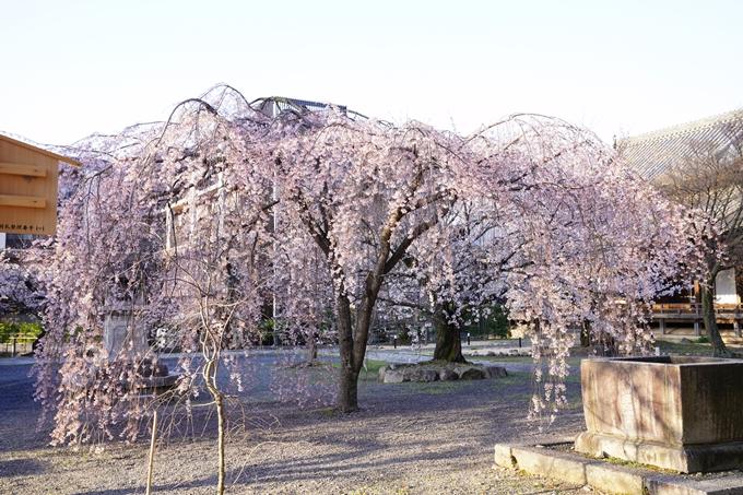 桜_2021_16 立本寺 No9