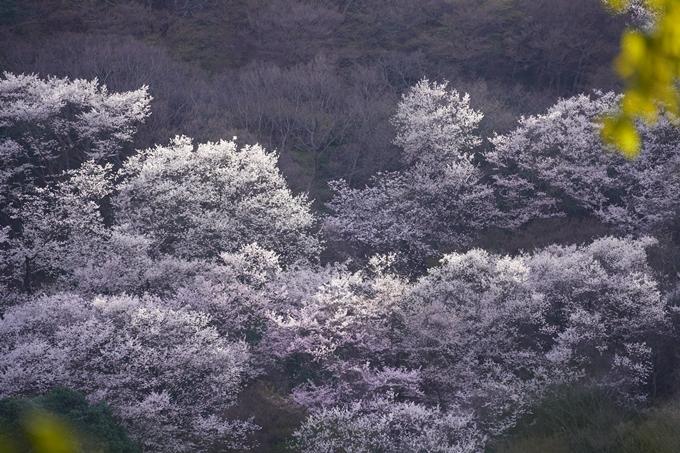 桜_2021_20嵐山公園 No6