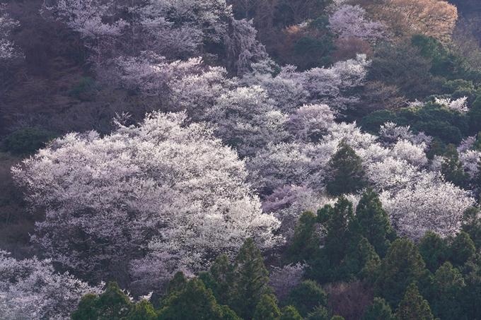 桜_2021_20嵐山公園 No8