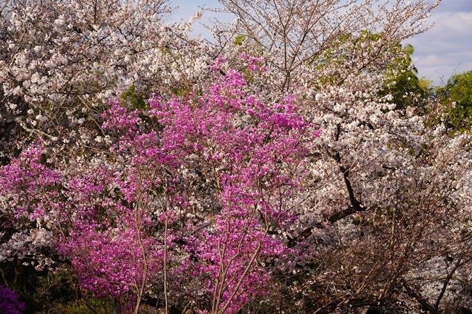 桜_2021_20嵐山公園 No11