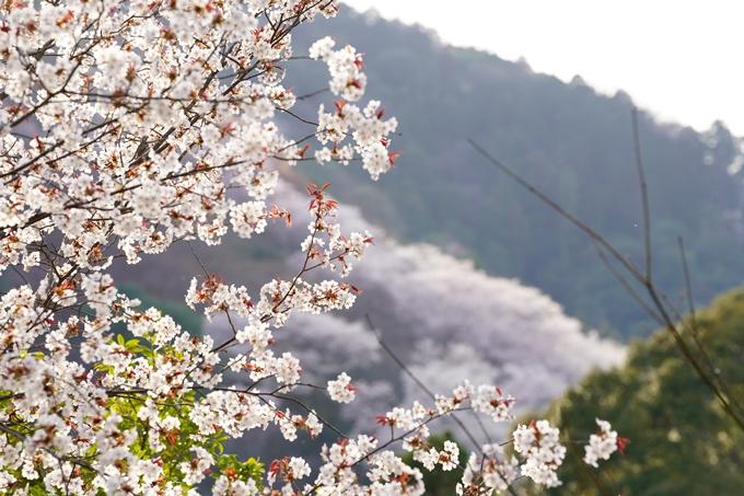 桜_2021_20嵐山公園 No12