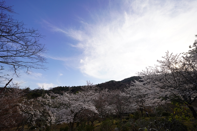 桜_2021_20嵐山公園 No15