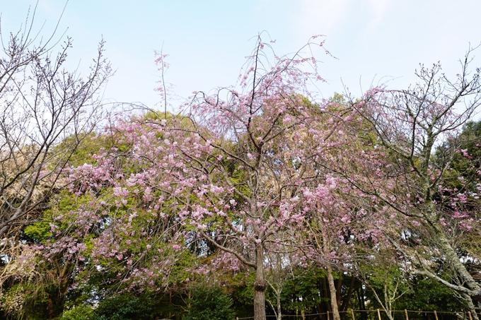 桜_2021_20嵐山公園 No17