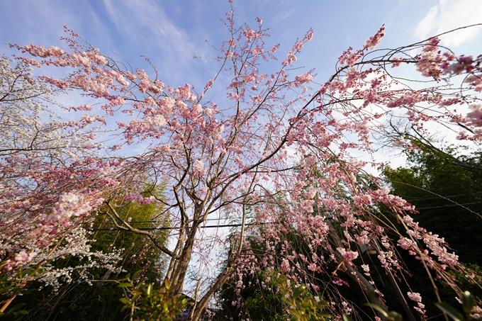 桜_2021_20嵐山公園 No20