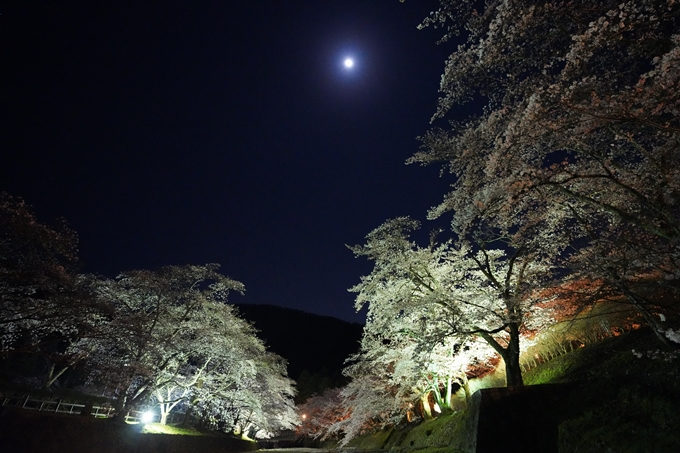 桜_2021_23 七谷川_ライトアップ No16