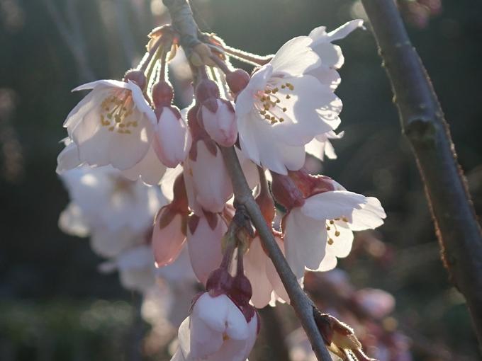 桜_2021_05 近衛邸跡の糸桜02No21