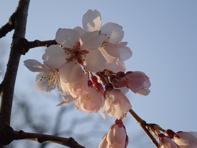 桜_2021_05 近衛邸跡の糸桜02No23