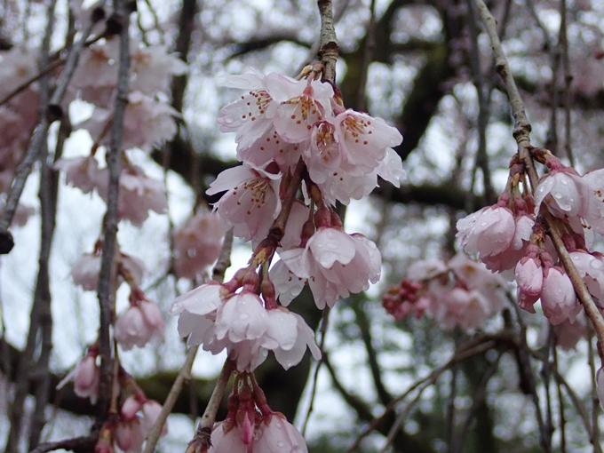 桜_2021_06 出水の桜 No13