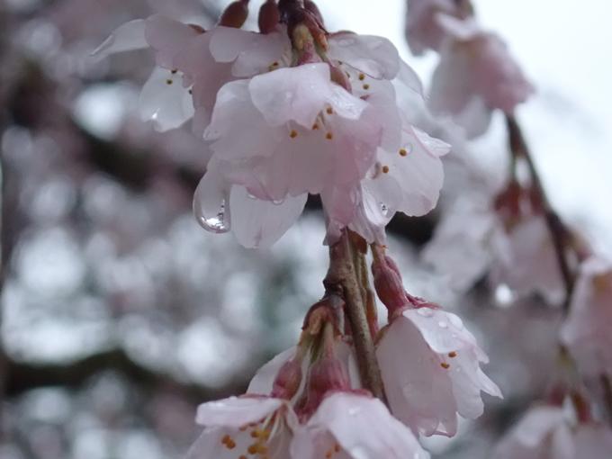 桜_2021_06 出水の桜 No14