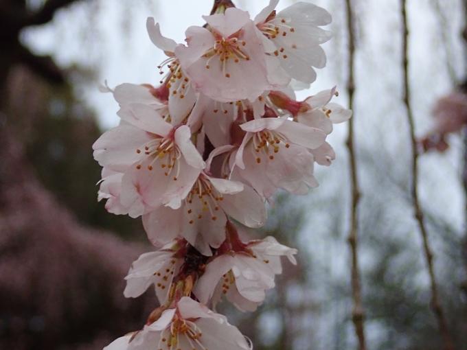 桜_2021_06 出水の桜 No15