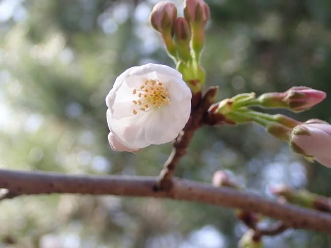 桜_2021_07 ソメイヨシノ No8