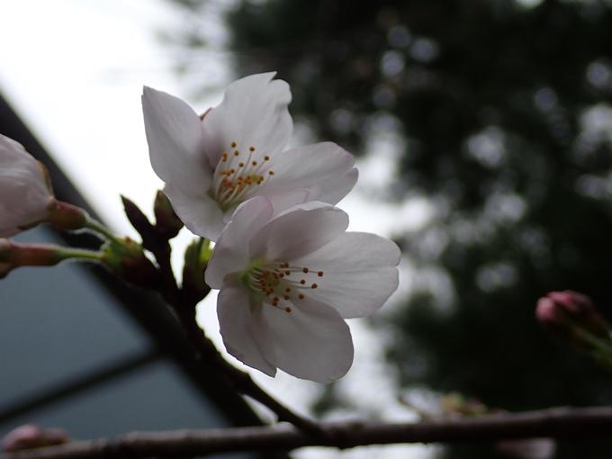 桜_2021_07 ソメイヨシノ No11