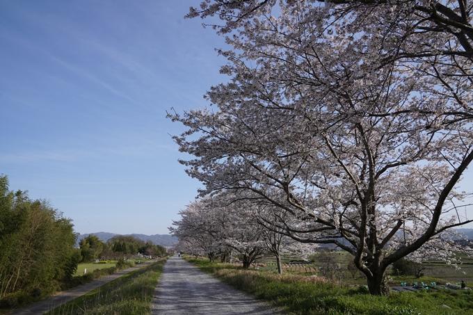 桜_2021_46 大堰川堤防_02 No3