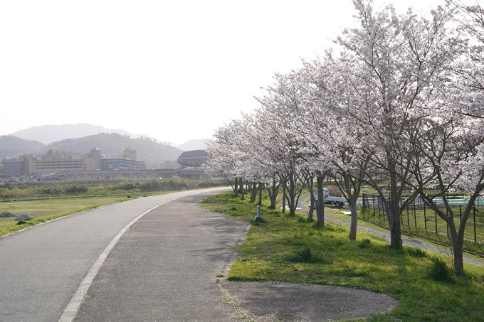 桜_2021_47 保津川堤防 No2