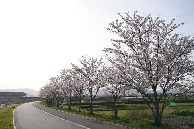桜_2021_47 保津川堤防 No4