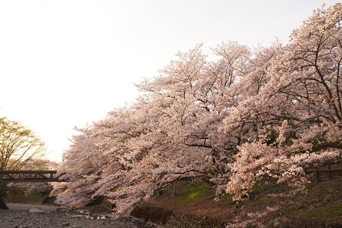 桜_2021_49 七谷川_02 No14