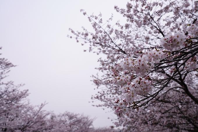 桜_2021_25 インクライン_南禅寺_哲学の道 No3