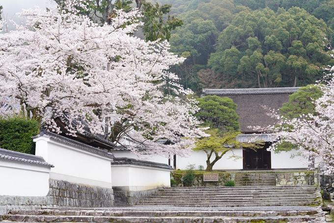 桜_2021_25 インクライン_南禅寺_哲学の道 No15
