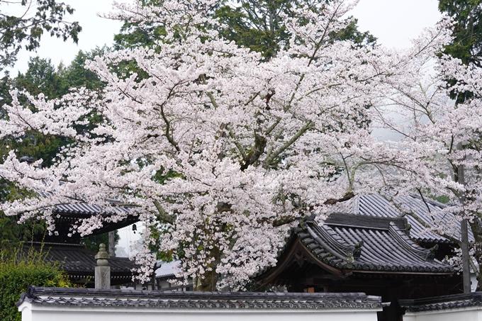 桜_2021_25 インクライン_南禅寺_哲学の道 No16