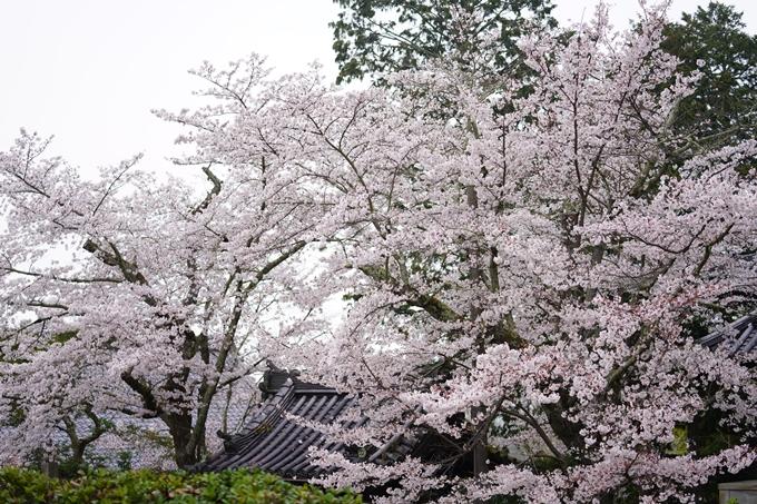 桜_2021_25 インクライン_南禅寺_哲学の道 No17