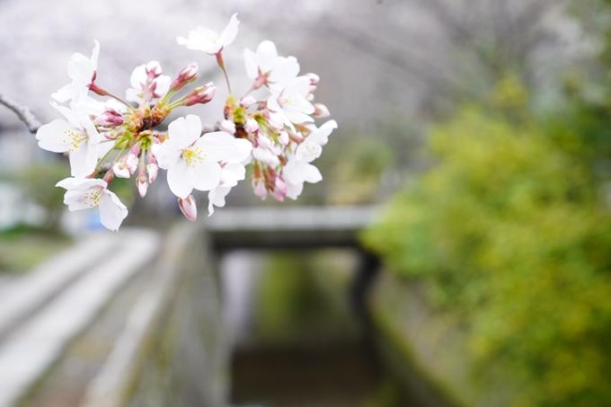 桜_2021_25 インクライン_南禅寺_哲学の道 No29