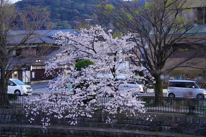桜_2021_26 岡崎疎水 No16