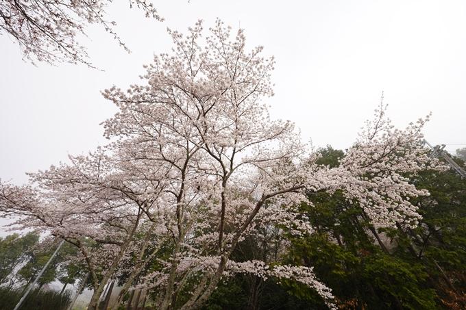桜_2021_27 七谷川 No11