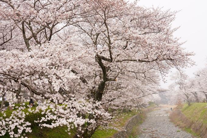 桜_2021_27 七谷川 No12